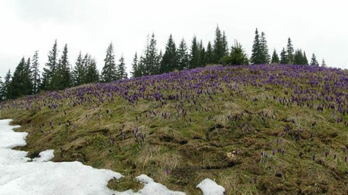Цветы на Драгобрате весной